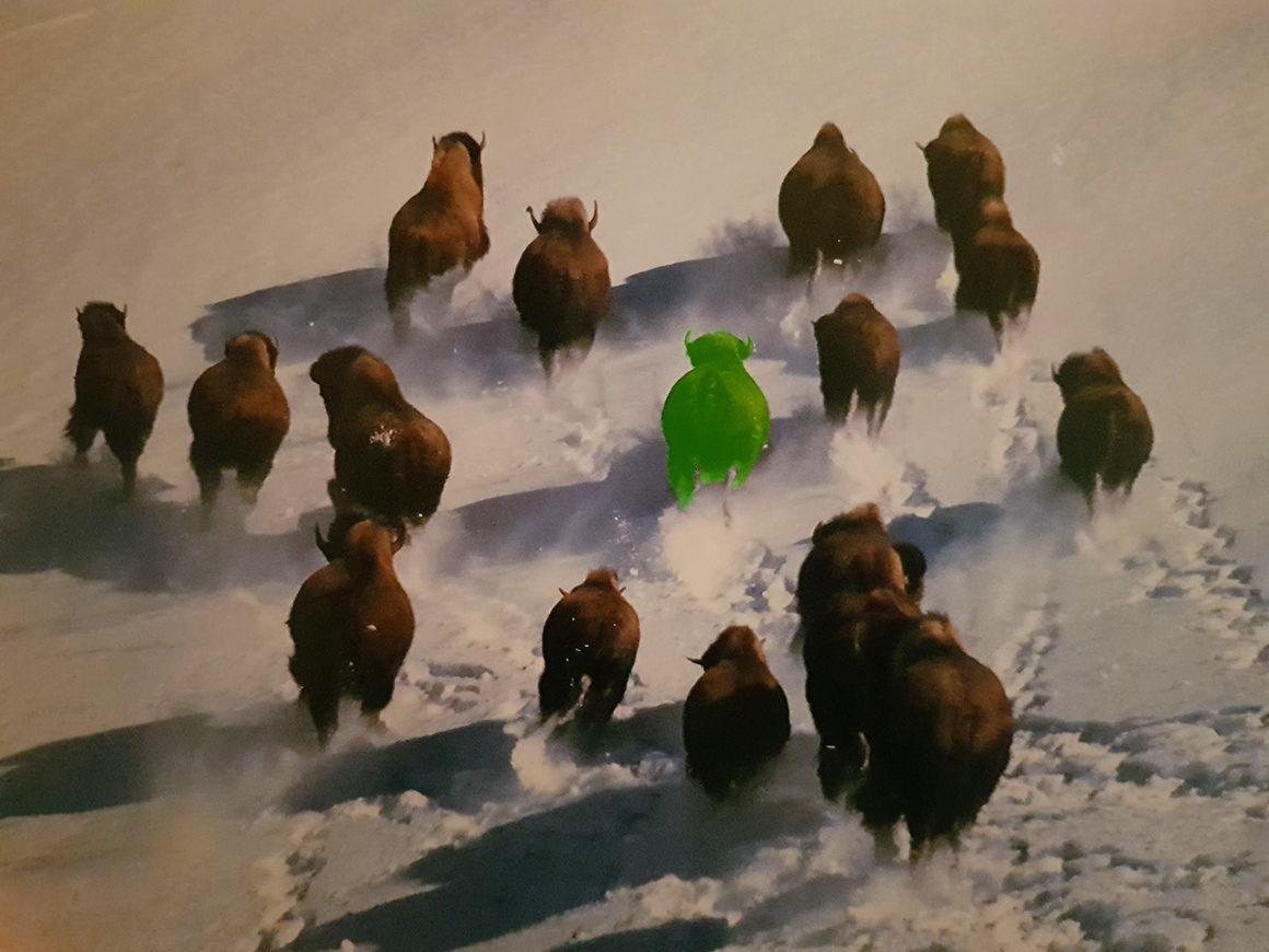 On n'aime pas l'abattage du troupeau de19bisonsfugueurs deMegève
